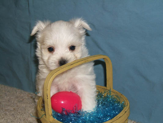 Maltese & Morkie Puppies for Sale in Iowa | Henrys Maltese