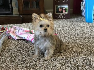 Teacup Maltese & Morkie Puppies for Sale in Iowa | Henry's