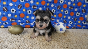 Maltese & Morkie Puppies Available for Adoption - Iowa